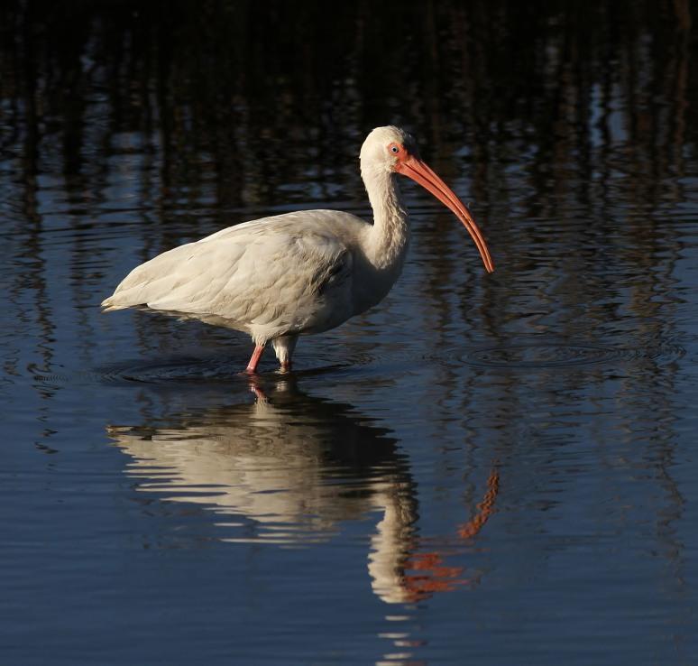 ibis-crab-for-breakfast-
