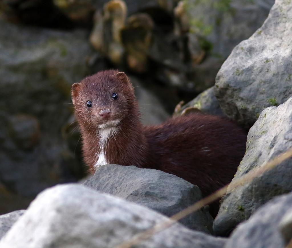 mink-in-the-oyster-beds-at-salt-marsh-