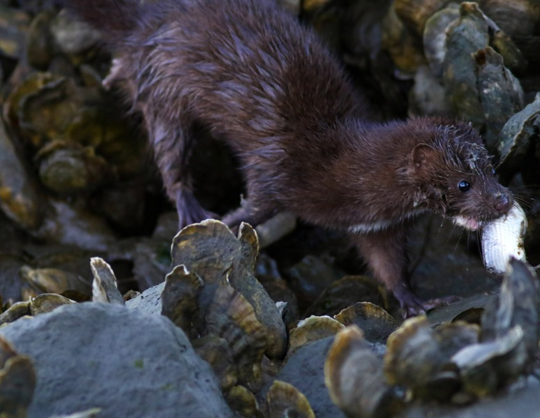 mink-in-the-oyster-beds-at-salt-marsh-