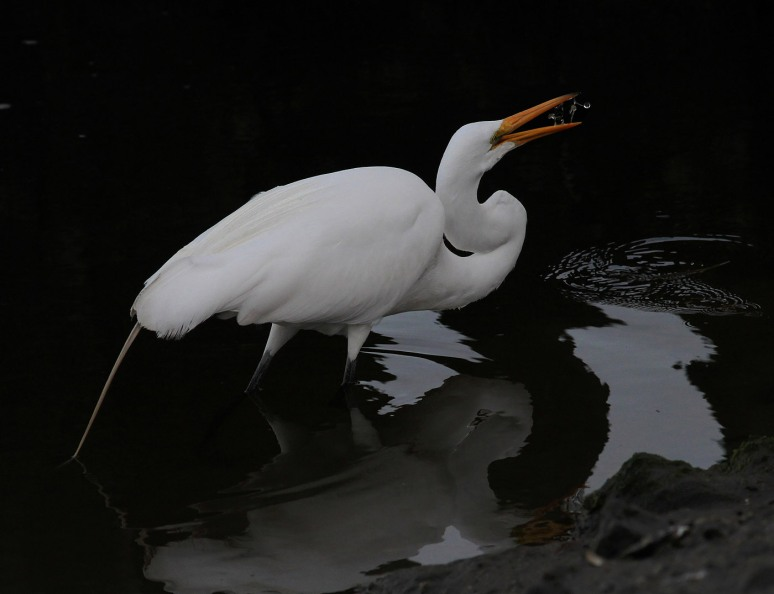 egret-catching-glass-shrimp-in-salt-marsh