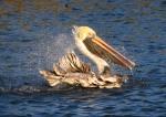 pelican-bathing-in-salt-marsh