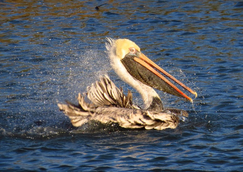 pelican-bathing-in-salt-marsh