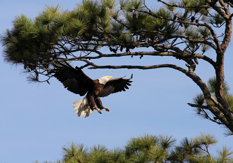Bald Eagle Patrols The Salt Marsh 04