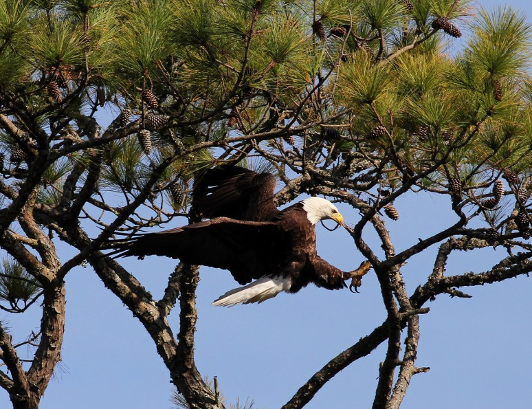 Bald Eagle Patrols The Salt Marsh 05