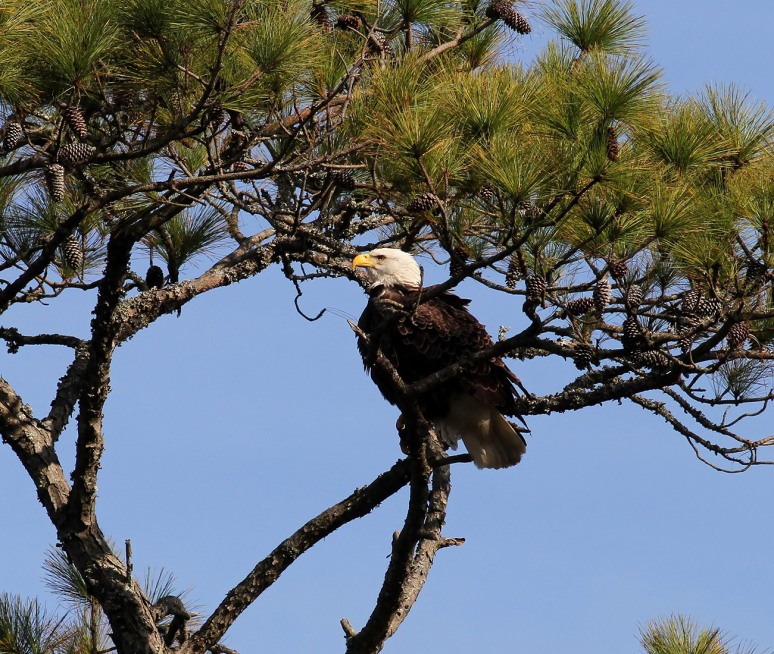 Bald Eagle Patrols The Salt Marsh 06