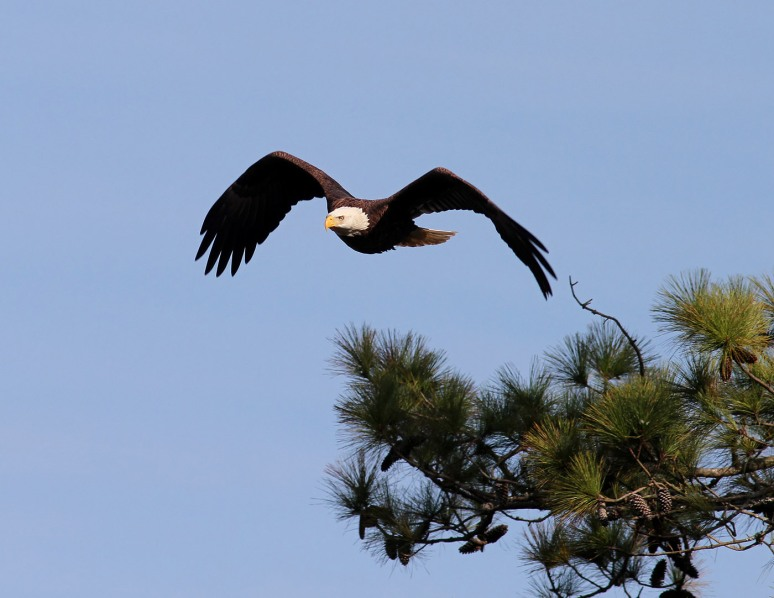 Bald Eagle Patrols The Salt Marsh 07