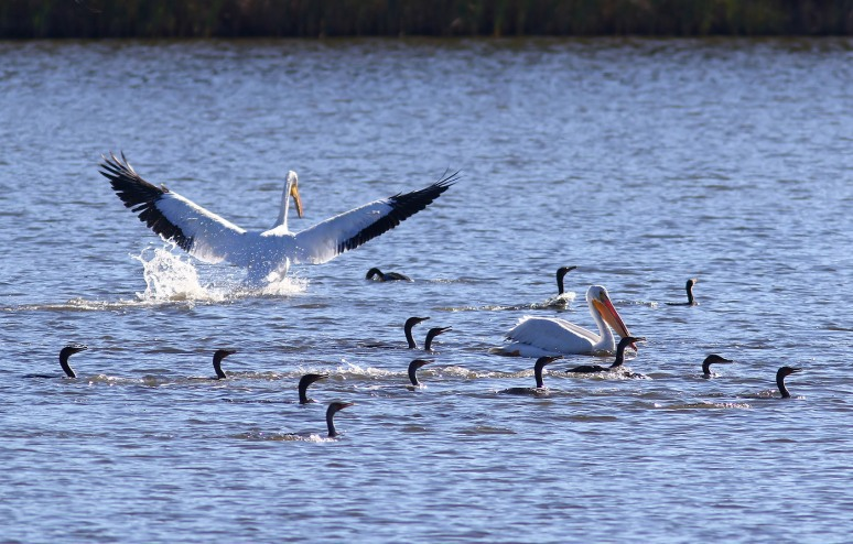 White Pelicans Fall Visit 01