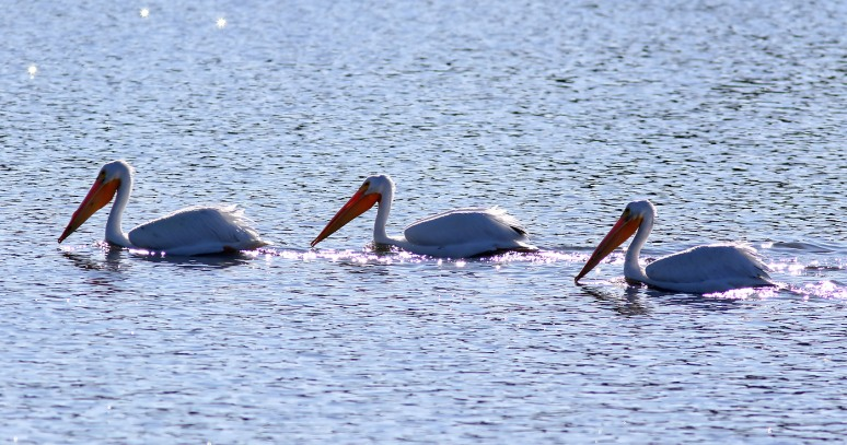 White Pelicans Fall Visit 02