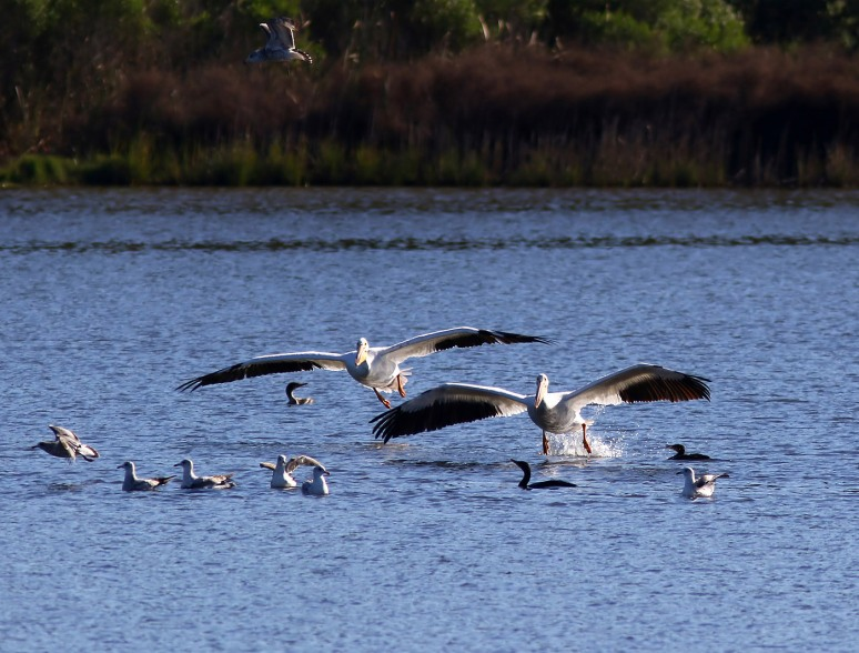 White Pelicans Fall Visit 03