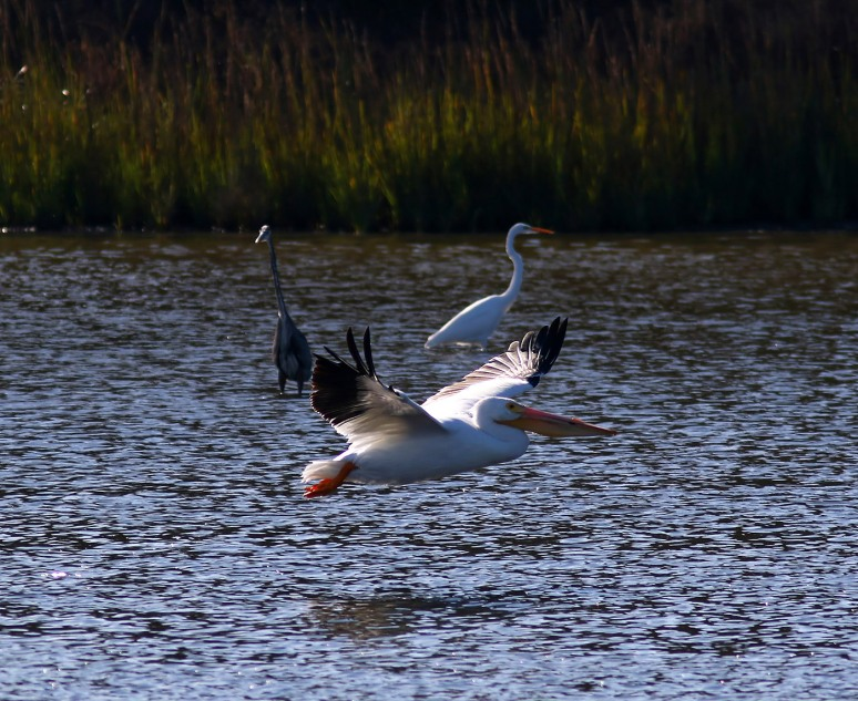 White Pelicans Fall Visit 04