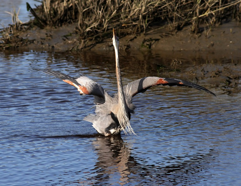 gbh struts in salt marsh 02