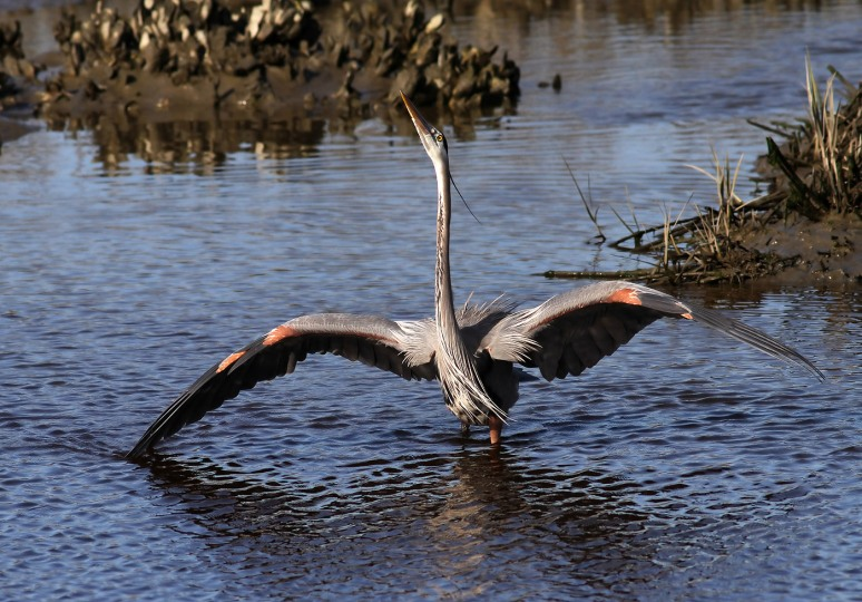 gbh struts in salt marsh 03