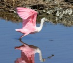 Afternoon Spoonbills in the Marsh01