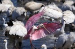 Afternoon Spoonbills in the Marsh03