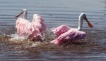 Spoonbill Bathing in Marsh03