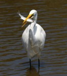Egret With A Fish Lunch01
