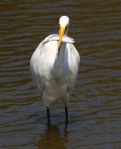 Egret With A Fish Lunch 02