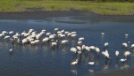 Wood Storks Coming and Going01