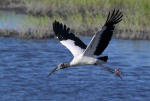Wood Storks Coming and Going 02