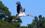 Wood Storks Coming and Going03