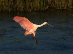 Spoonbill Lands in Salt Marsh01