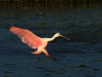 Spoonbill Lands in Salt Marsh02