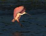 Spoonbill Lands in Salt Marsh03
