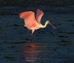 Spoonbill Lands in Salt Marsh04